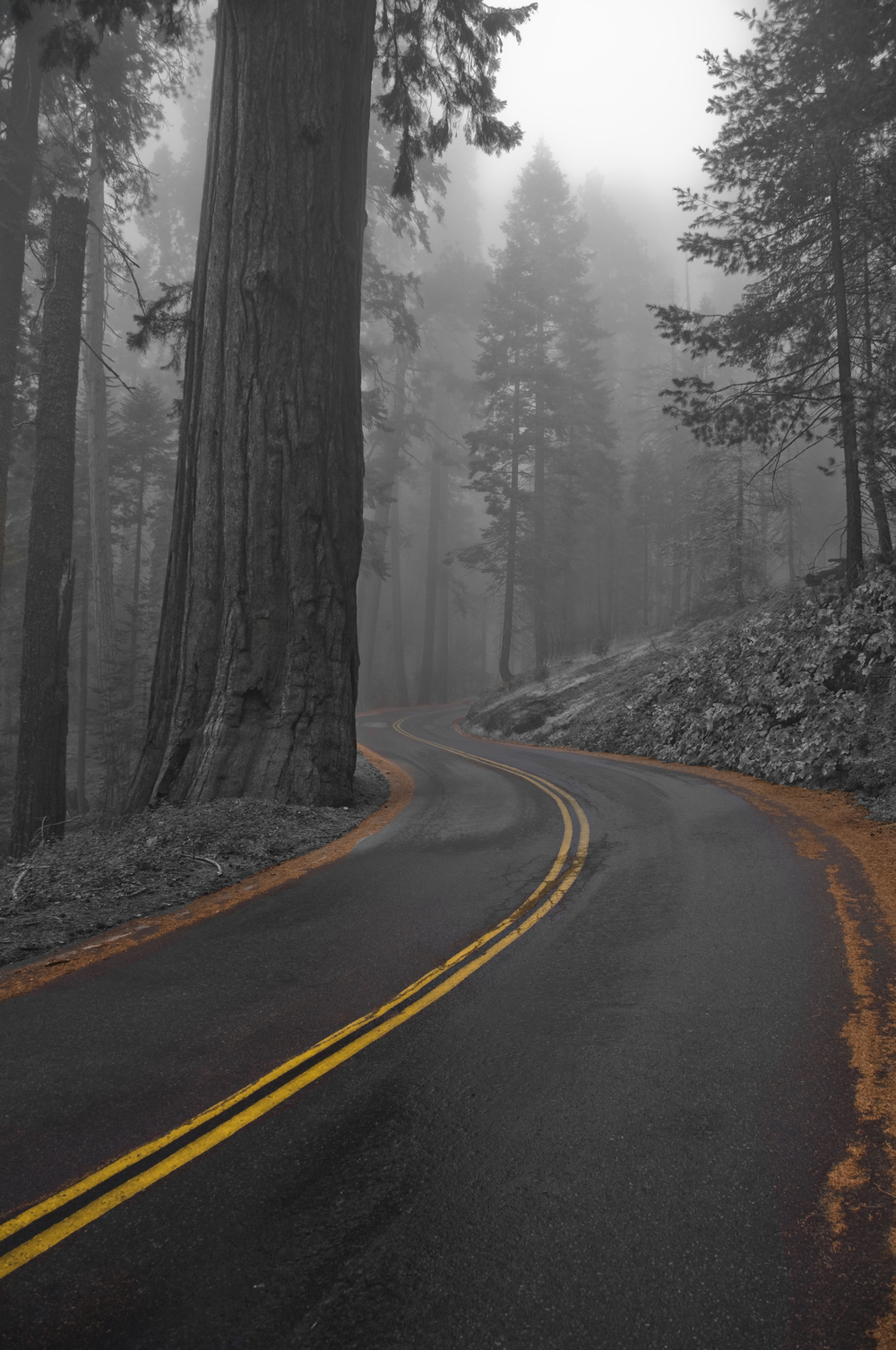 Sequoia copy.jpg