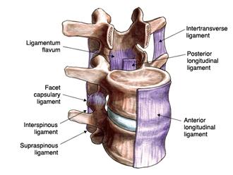 interspinus-ligaments-Longmont-Chiropractor.jpg