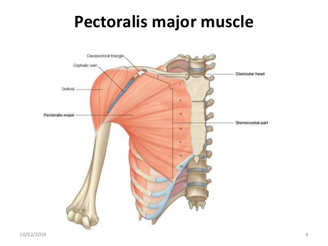 The anterior view of the shoulder, the pectoralis muscles are a big source of forward shoulder carriage, usually associated with spending extended time at a computer or any occupation involving sitting.
