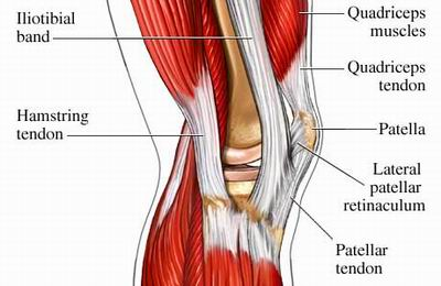 As you can see the knee is a much simpler joint with only a few muscles.  The quadriceps and hamstrings do the majority of the dynamic stability in the knee.