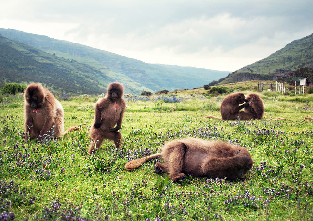 Bleeding Heart Baboons, Simien Mountains, Ethiopia 2013