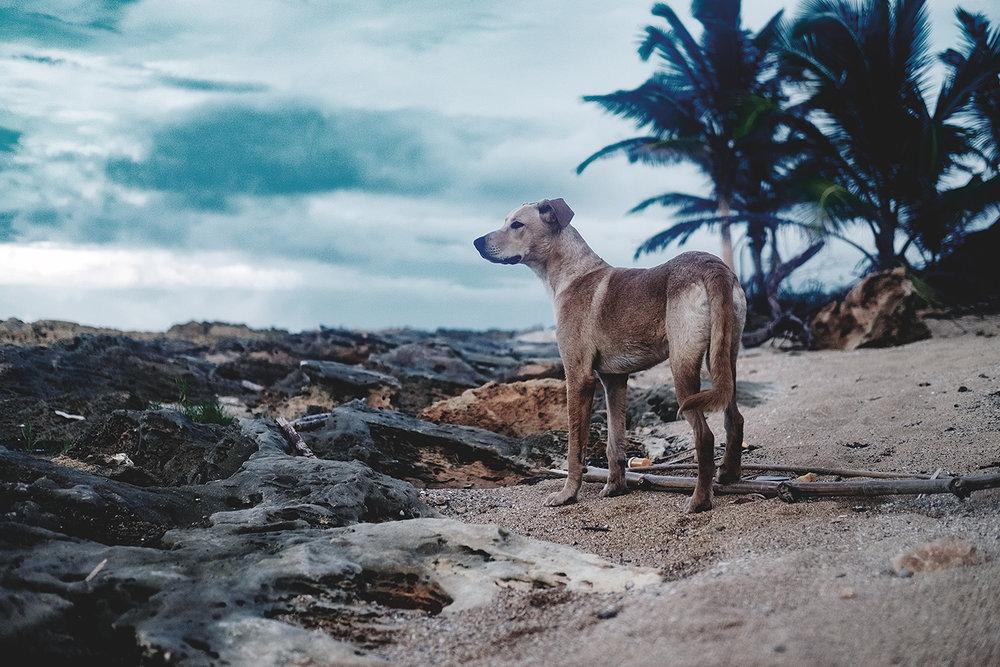 sato, dogs, puerto ricop, dominik fleischmann fotografie