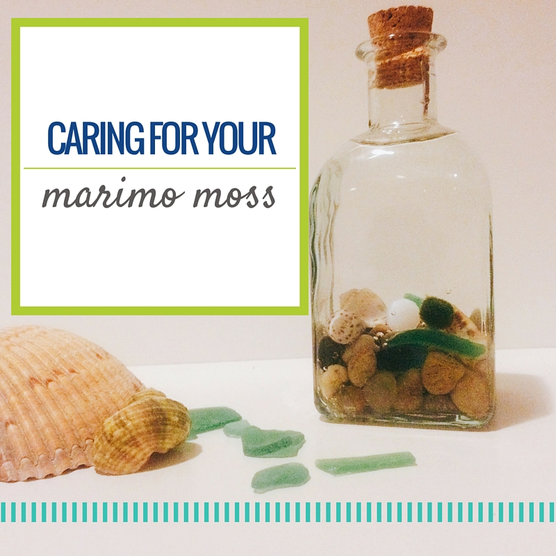 How to care for marimo moss