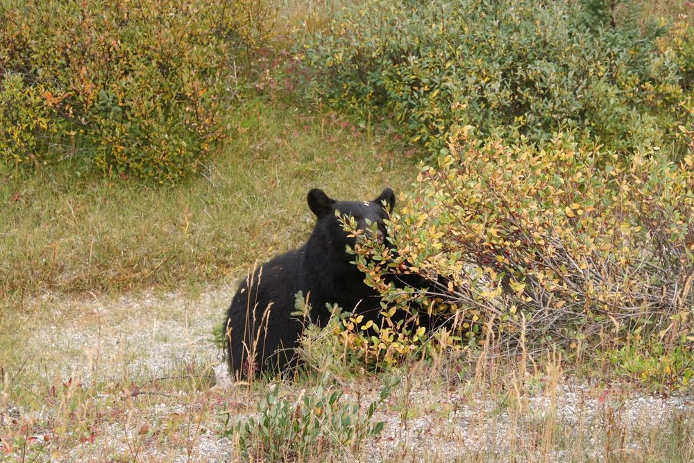 Bear Jasper National Park