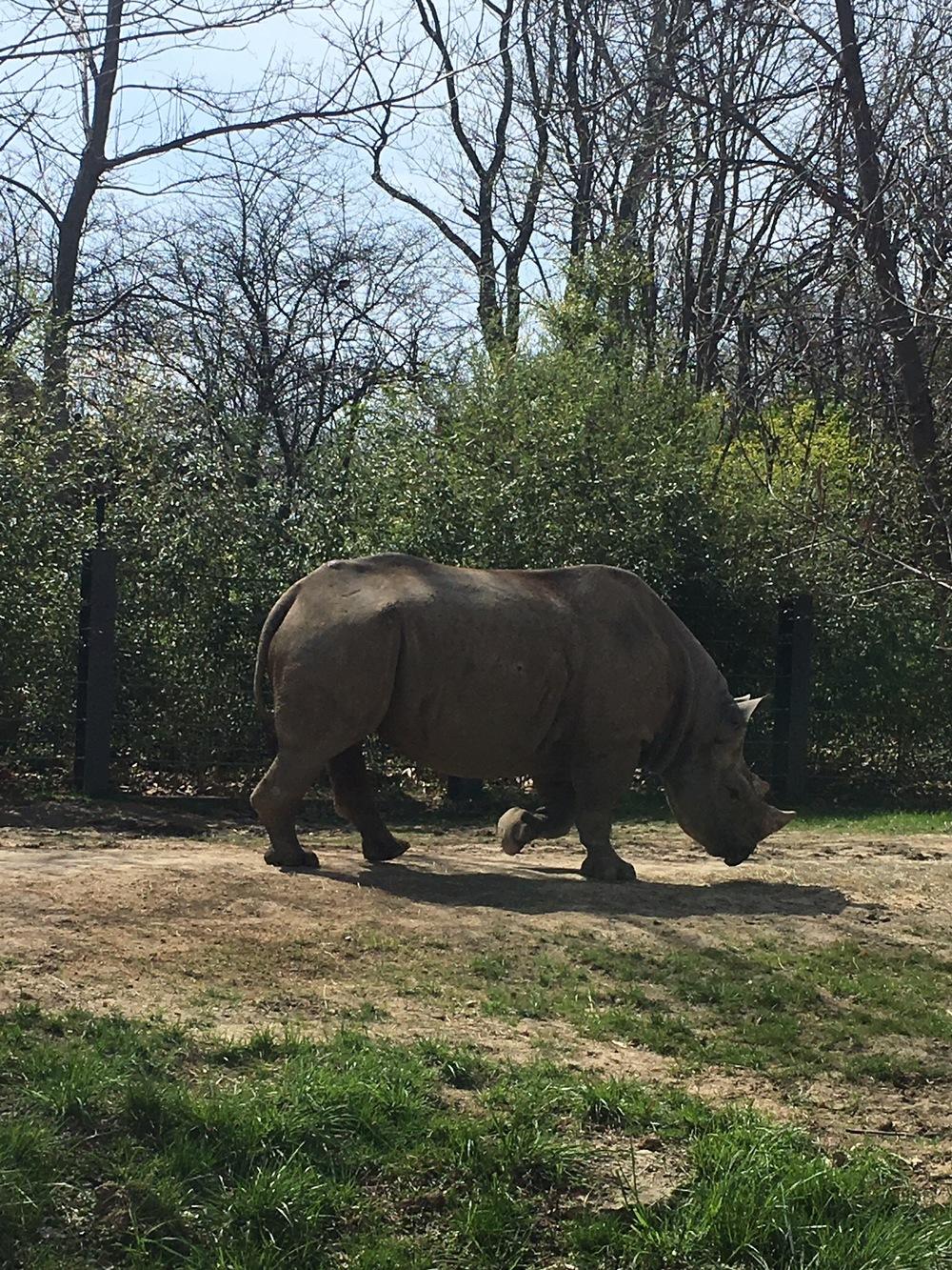 St. Louis Zoo Rhino
