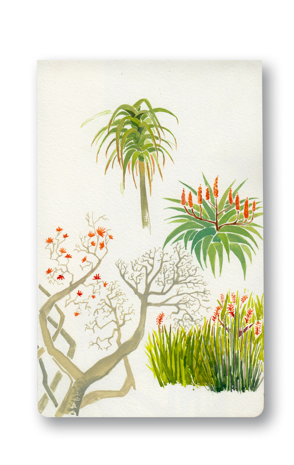 """Indigenous South African Aloes and Coral Tree - Durban, SA  Watercolor & Gouache - MOleskine Sketchbook 5 x 8.25"""""""