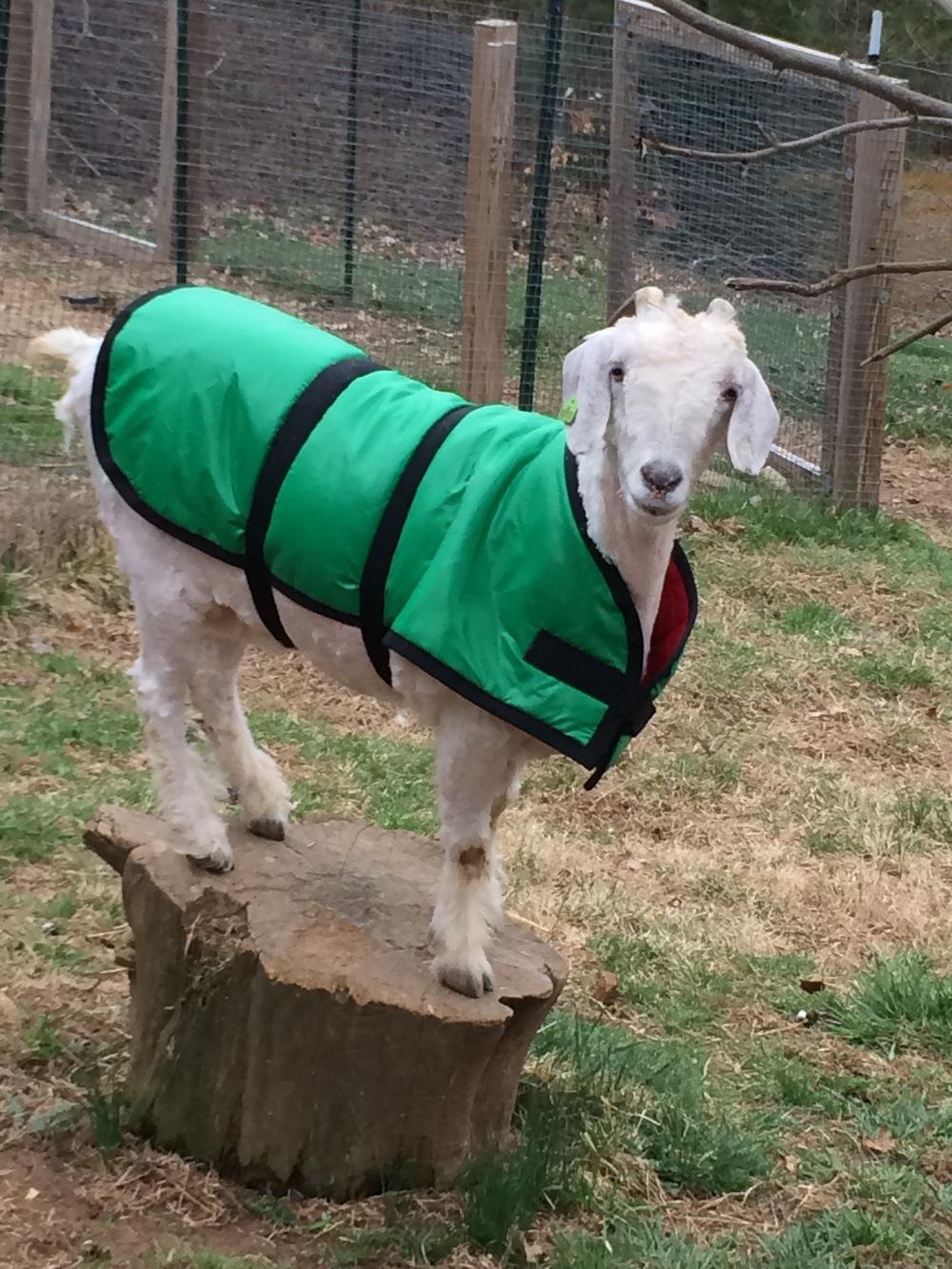 Ellie, looking fetching in her winter coat