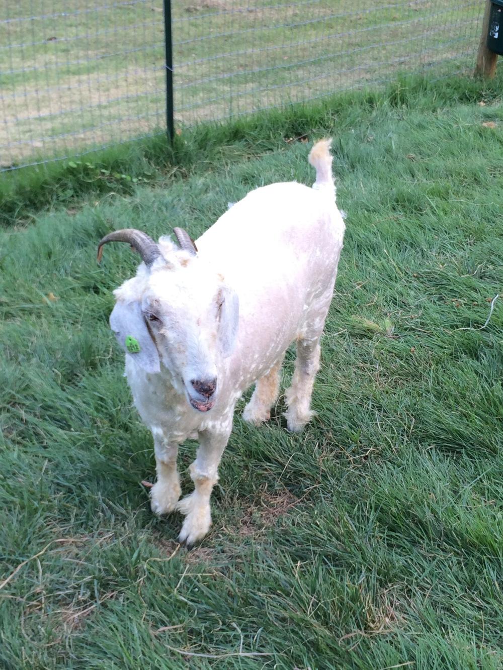 Amelia, on shearing day