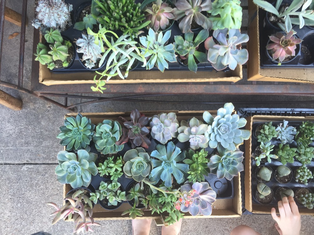 here's a photo of some of the succulents at corner market...I took this pic a few months back...if I knew then what I know now, I would've bought some of these!
