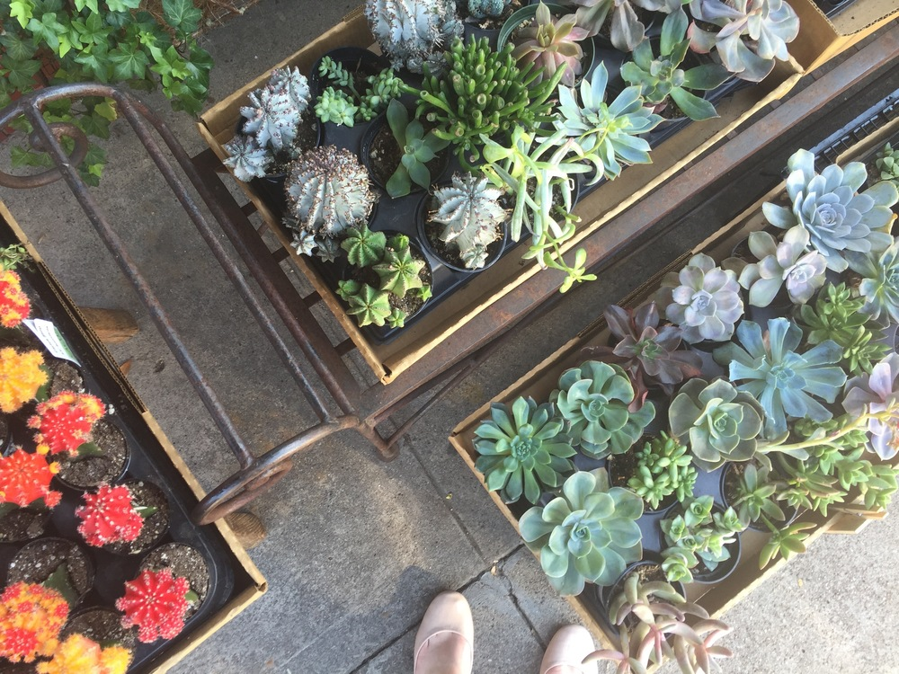 here you can see some little cacti next to the succys.
