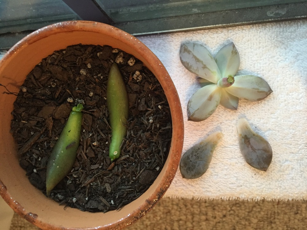 black knight leaves propping alongside my new plant's leaves and rosette!