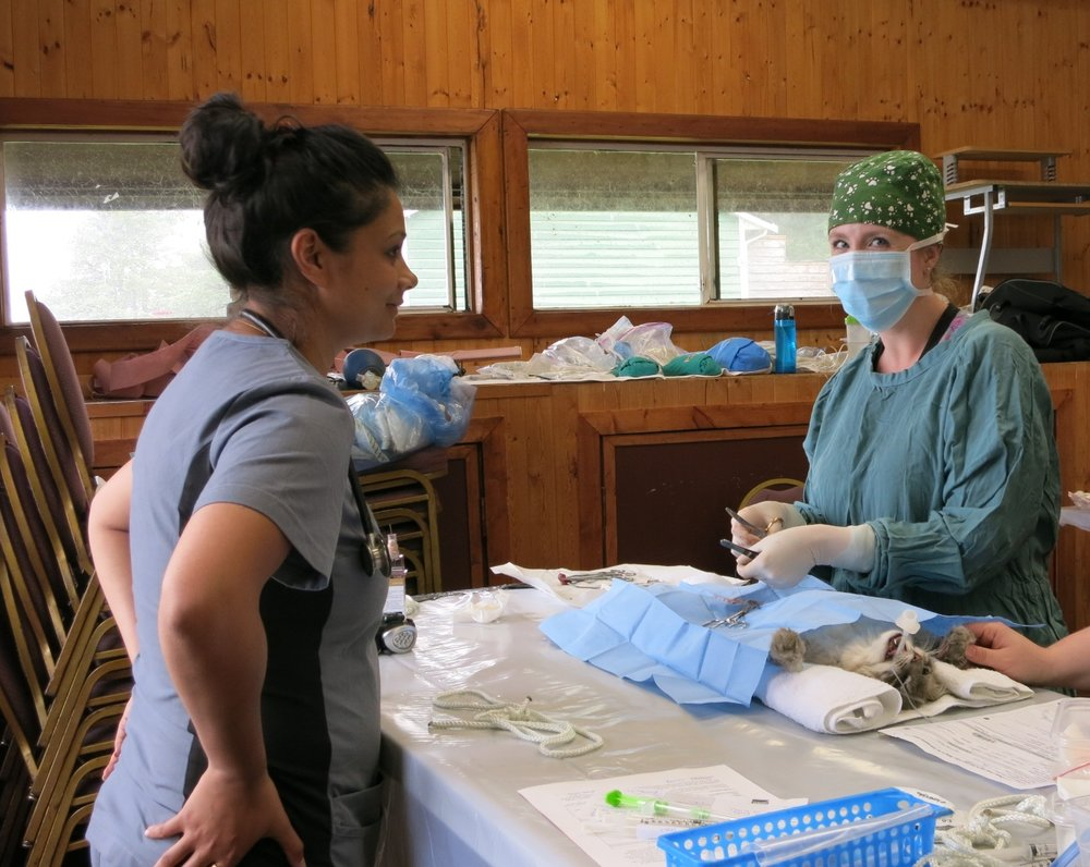 Cat spay with a veterinary student looking on