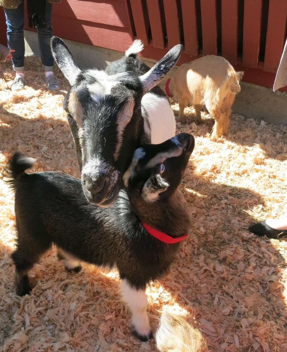 Mama goat with her kid
