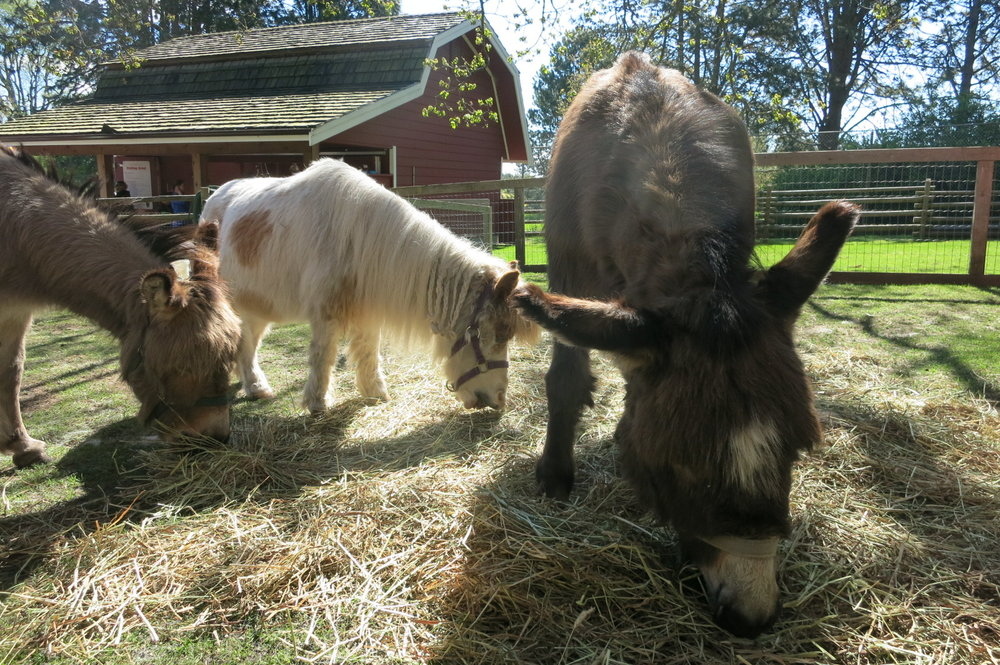 MIniature horse Peanut Butter with her Miniature donkey friends