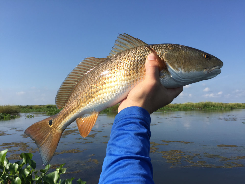 Redfish in the Louisiana marsh, Scott Myers Photography