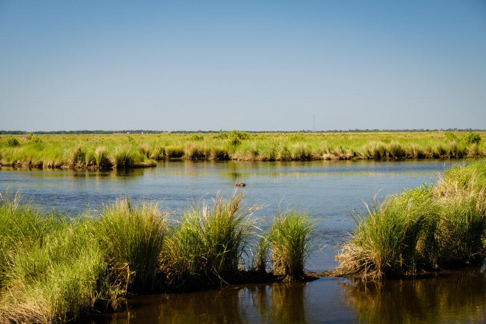 Nutria in the marsh