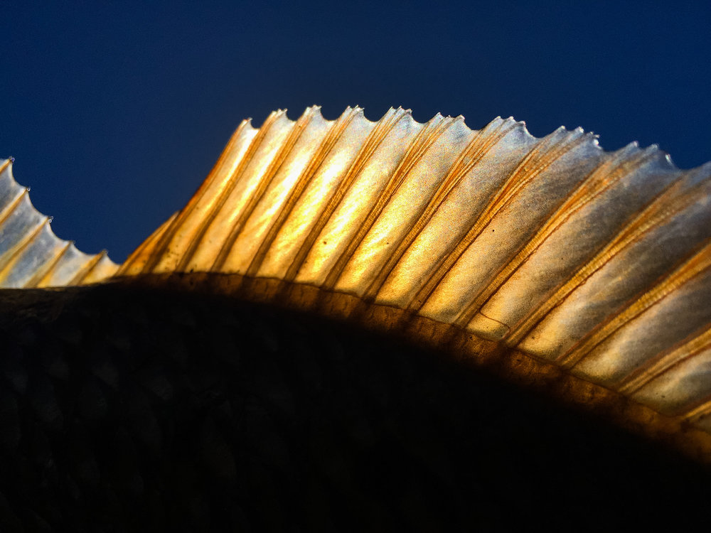 Redfish fin
