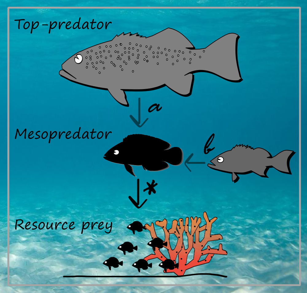 Fig 1. Interaction between a mesopredator and its prey (*), which can be influenced indirectly by a top-predator (a) or another mesopredator (b).