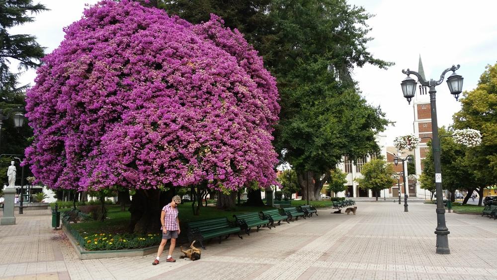 Huge bougainvillea, Plaza de Armas, Talca