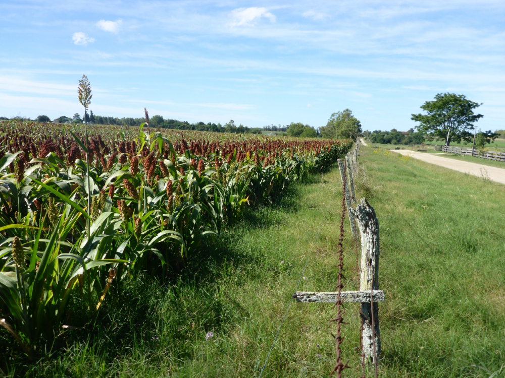 sorghum fields near Valdense
