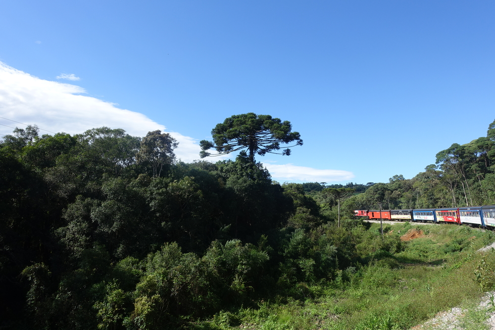 leaving curitiba on the serra verde - these unusual pines are common in southern brazil