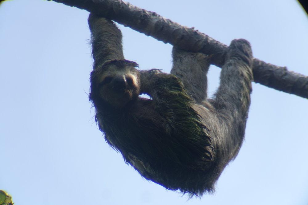 male three toed sloth
