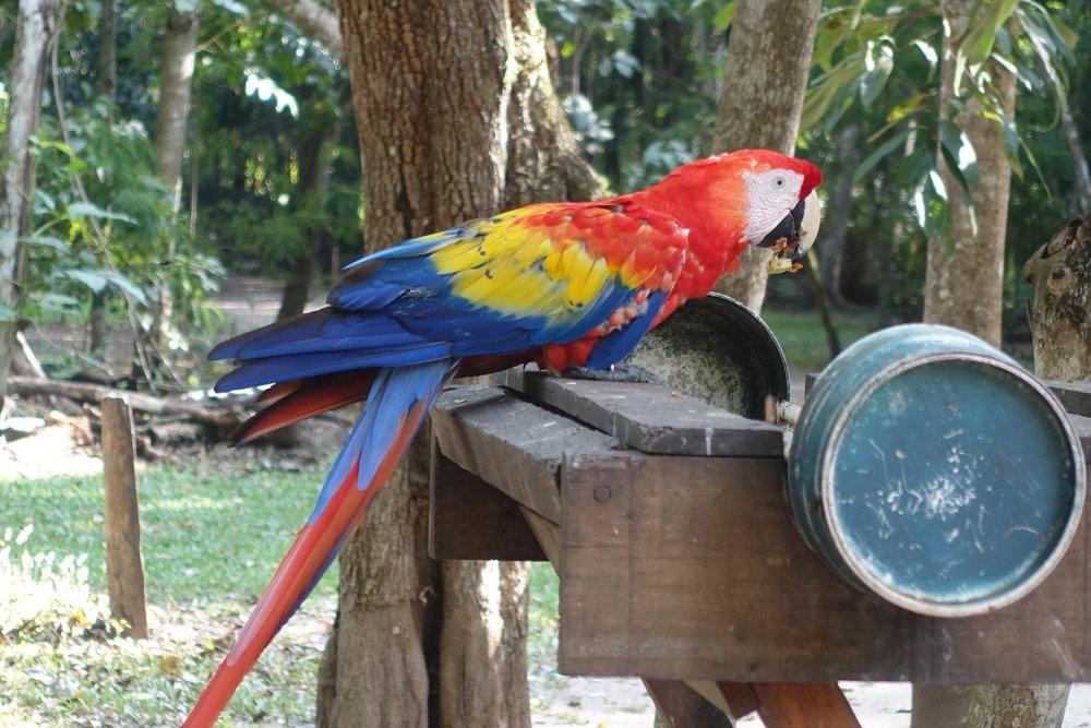 scarlet macaw - AKA Guacamaya