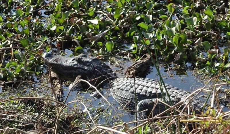 gator at barataria preserve
