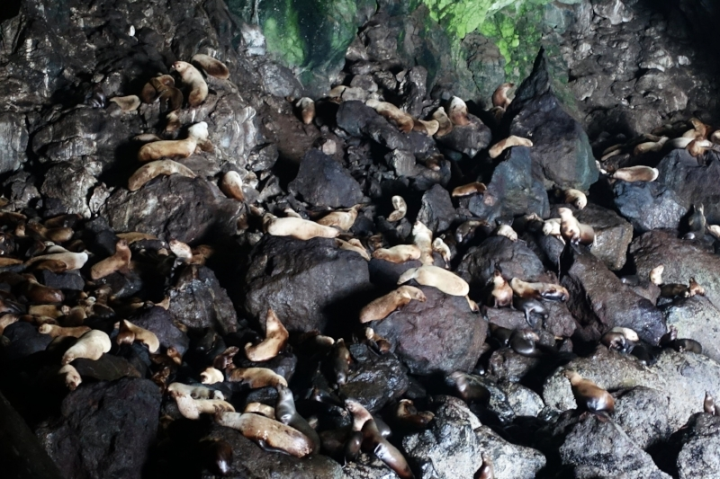 300 sea lions in one huge cave