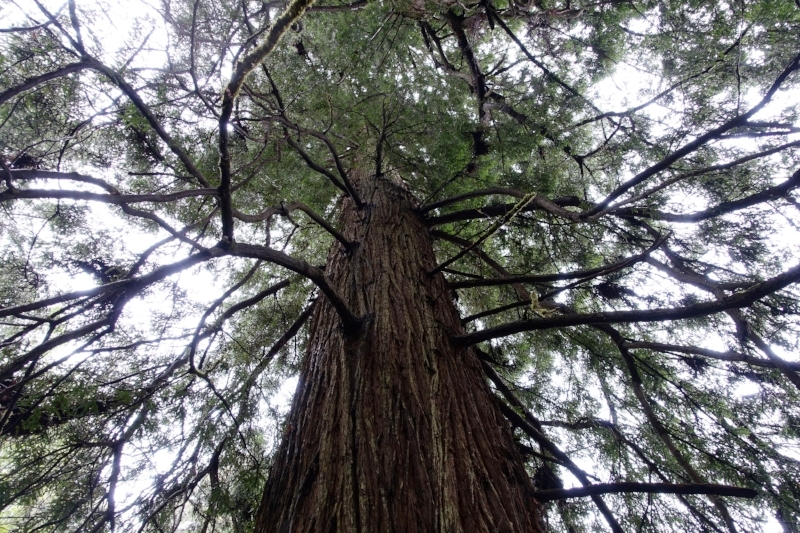 a giant redwood