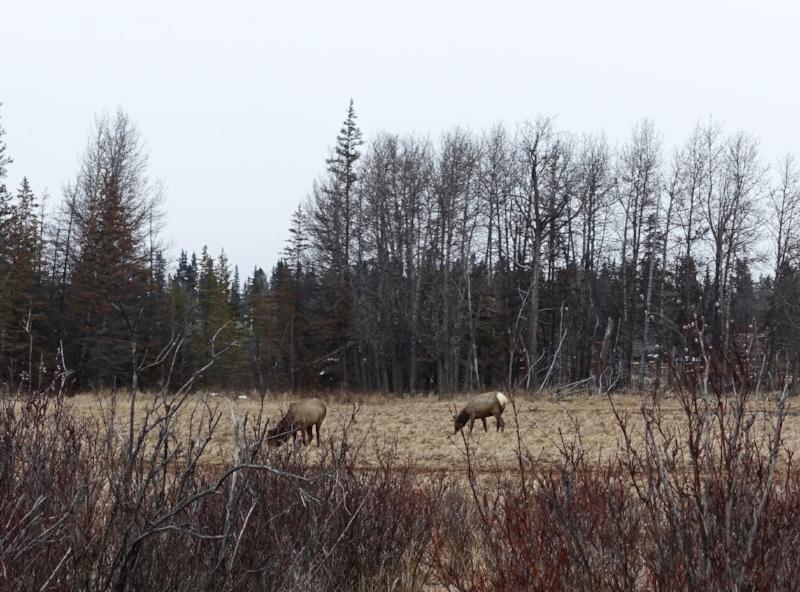 grazing elk