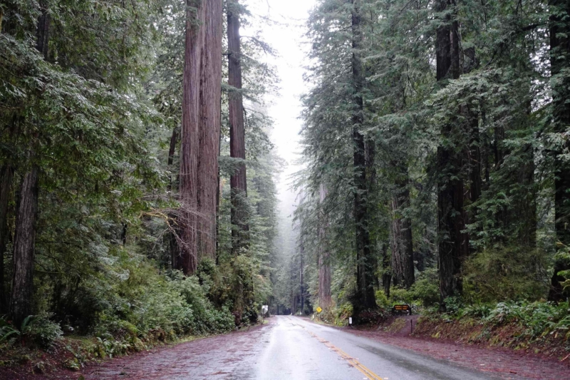 driving through the redwood forests of california