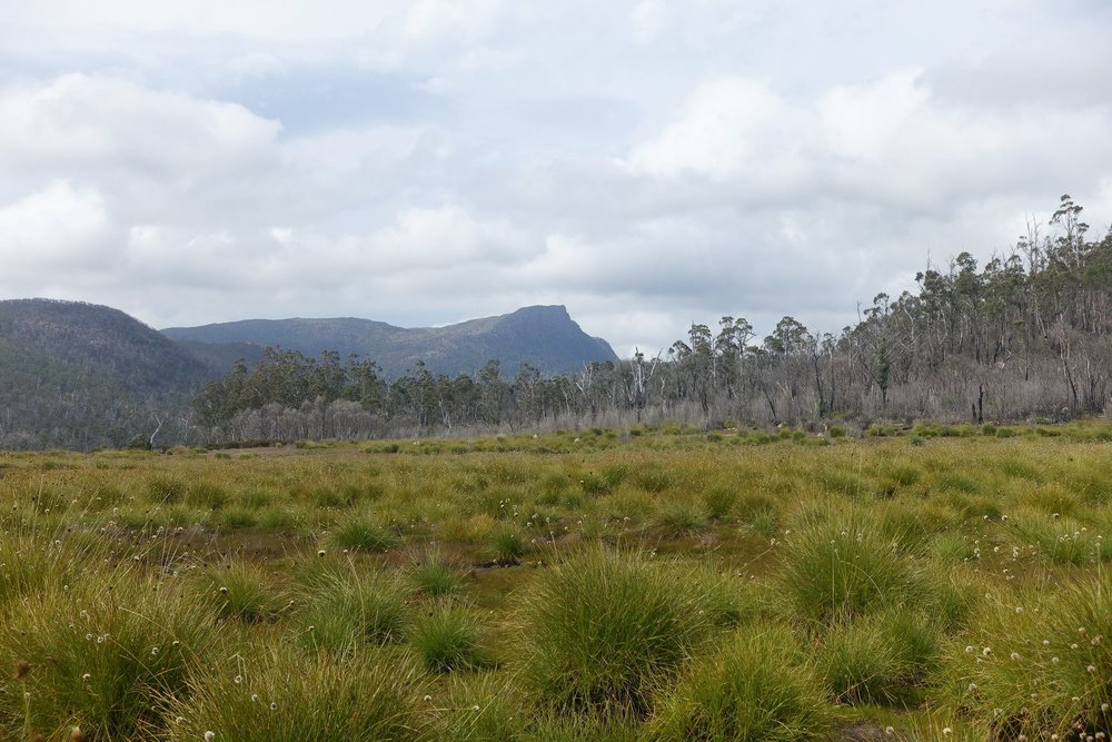 flowering button grass with mt Rogoona in the distance