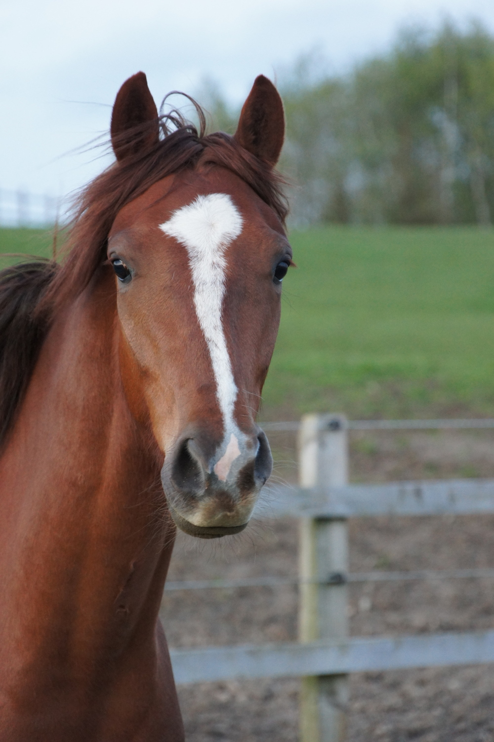 Cruz     Stable Name : Billy  Colour : Chestnut  Height : 14.2  Sex : Gelding  Breeding :Caeser  Country of Origin :GB  Year Foaled :2009  Sold to Charlotte Dujardin. Has won several national titles.