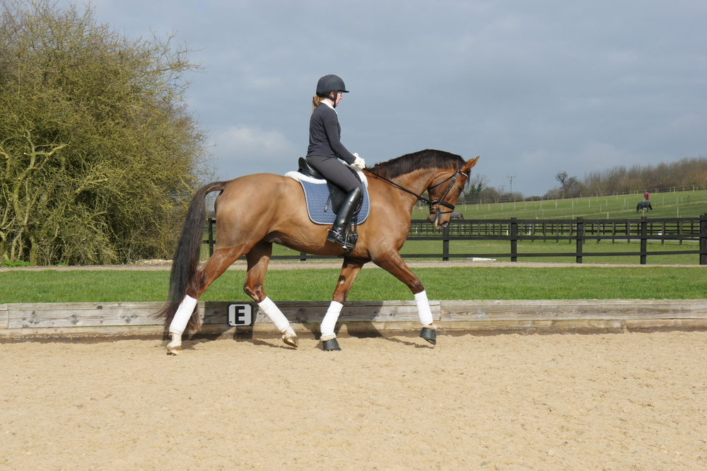 Bellissimio     Stable Name :Twix  Colour : Chestnut  Height :16.2  Sex : Gelding  Breeding :Bellissimo M  Country of Origin :Germany  Year Foaled : 2006  level : Elementary