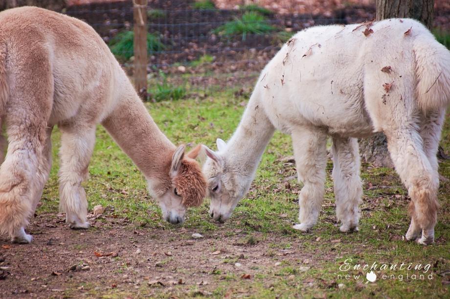 Alpaca from New England Alpacas | Taken at New England Alpacas Open House