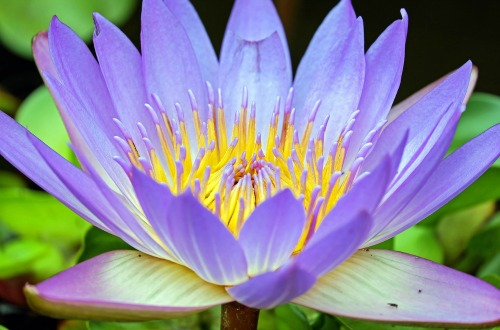 Purple Water Lily_500x330.jpg