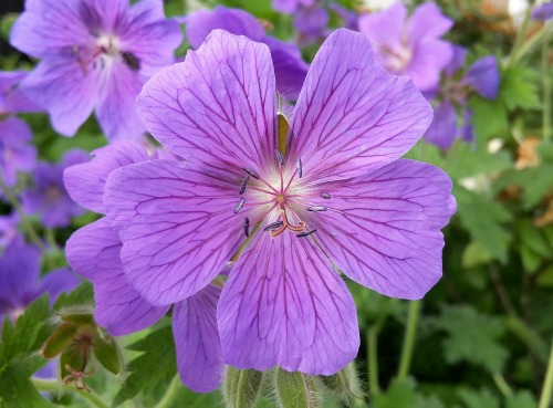 Purple Cranesbill Flower_500x369.jpg