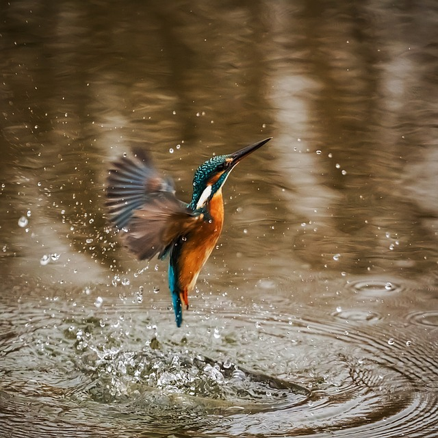 Kingfisher Flying Up from Water_640.jpg
