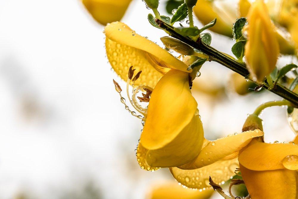 Broom Flower Genista_1920.jpg