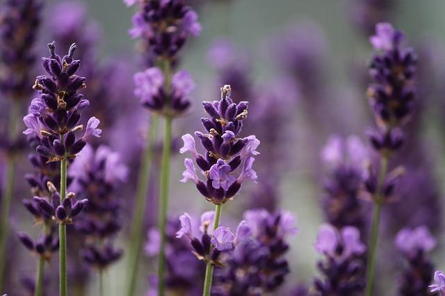 Purple Lavender 640.jpg
