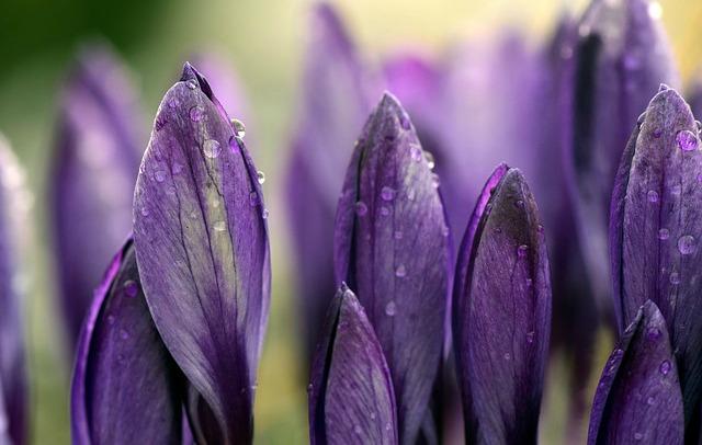 Purple Crocus_640x406.jpg