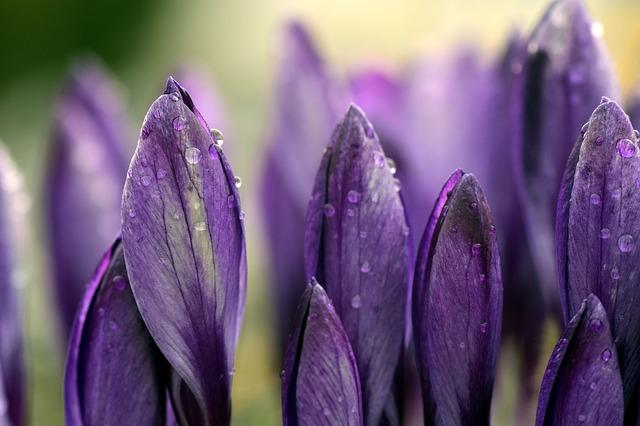Purple Crocus_640.jpg