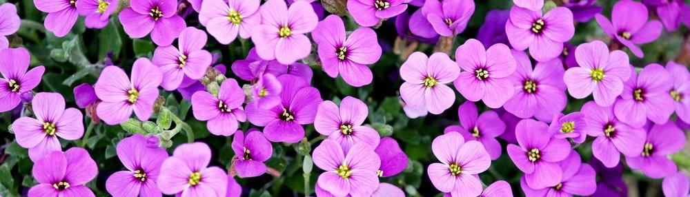 Purple Violet-Like Flowers_1920x550.jpg