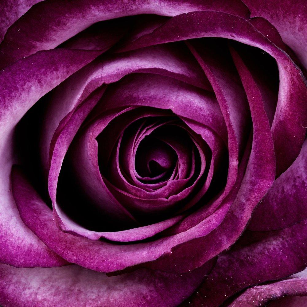 Purple Rose_1280.jpg