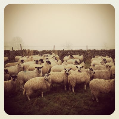sheep in Edale