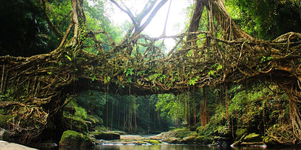 The famous living root bridges of Shillong