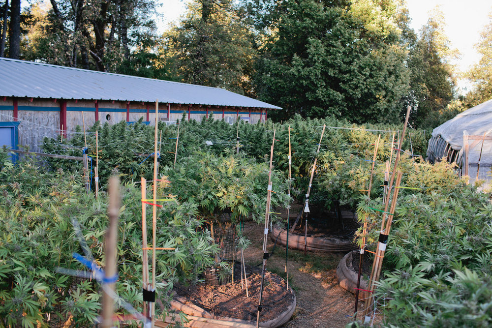 Clandestine Cannabis Farm in the Emerald Triangle