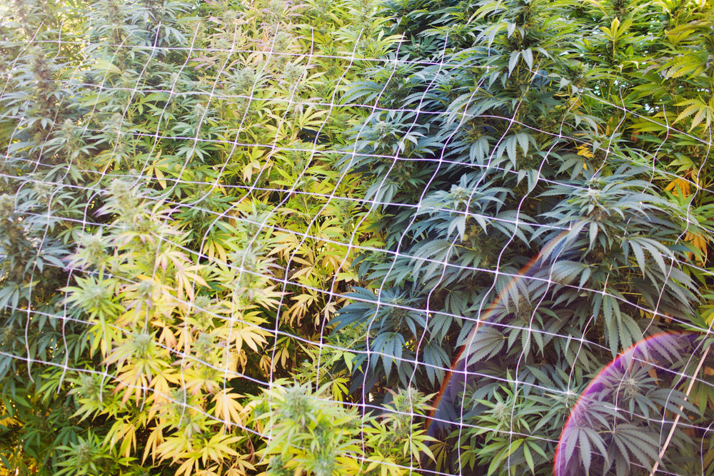 County-banned Cannabis Farm