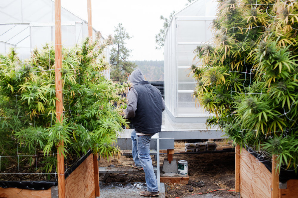Cannabis Storytelling Photography by Photojournalist Kristen Ang